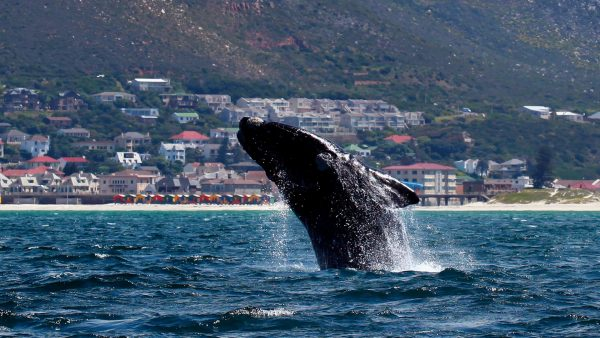 Southern right whale breaches
