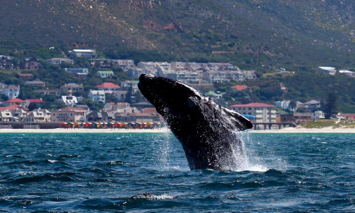 A Southern right whale breaches near the shore of Muizenberg Beach in False Bay, Cape Town, on Oct. 11, 2013. (Jennifer Bruce/AFP/Getty Images)