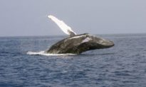 Fisherman Risks It All By Leaping Onto Humpback Whale to Cut It Free From Entanglement