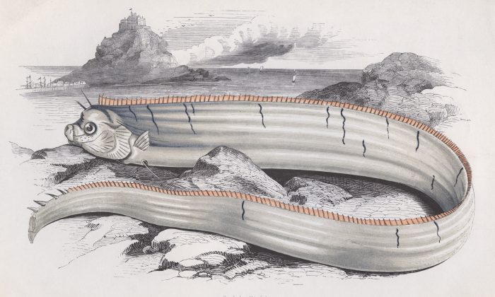 Bank's Oarfish, circa 1850. (Hulton Archive/Getty Images)
