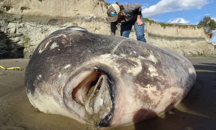 The seven-foot fish washed up at UC Santa Barbara's Coal Oil Point Reserve in Southern California last week. The mouth of the fish has a unique look, said Thomas Turner, an evolutionary biologist. (Thomas Turner/CNN)