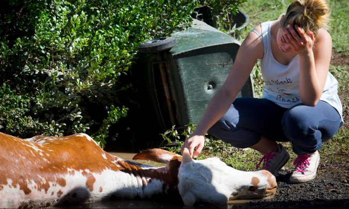 The owner of a cow, which drowned in floodwaters caused by Cyclone Debbie, cries after the recovery effort to rescue it in North MacLean, Brisbane on Apr. 1, 2017. (Patrick Hamilton/AFP/Getty Images)
