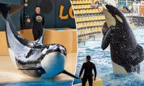 Kyla the Orca Whale Born in Captivity at Seaworld Dies of Mystery Illness at Age 30