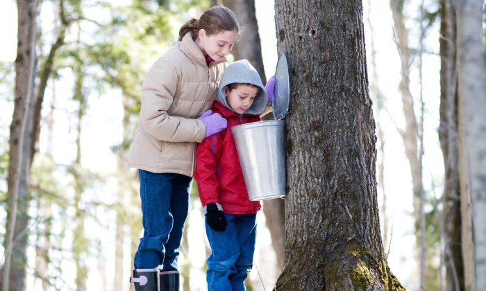 Children look into a sap bucket.  (sianc/shutterstock)