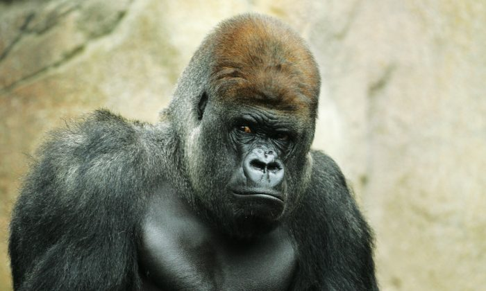 File photo showing Kibabu, a silverback gorilla, keeping a watchful eye on surroundings at the western lowland gorilla group at Taronga Zoo in Sydney, Australia, on Dec. 11, 2007. (Mark Kolbe/Getty Images)
