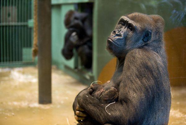 silverback gorilla holds baby