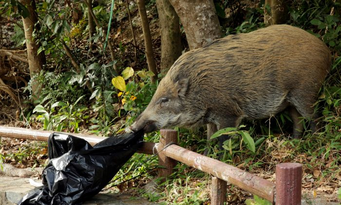 A wild boar checks a plastic trash bag near a barbecue pit at the Aberdeen Country Park in Hong Kong, China on Jan. 27, 2019. (Jayson Albano/Reuters)