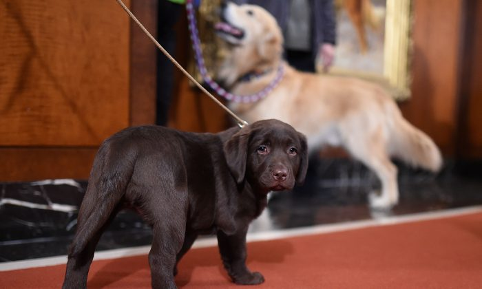 File photo depicting a Labrador retriever at the headquarters of the American Kennel Club in New York City on Feb. 22, 2016. (Jamie McCarthy/Getty Images)