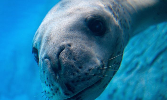 In this file image, a Leopard Seal explores its new enclosure at Sydney's Taronga Zoo on April 2, 2008. (Anoek De Groot/AFP/Getty Images)