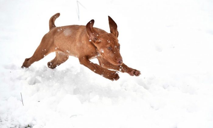 Prince, a Hungarian wire haired Vizsla, plays in the snow in Belfast, Northern Ireland, on Jan. 17, 2018. (Charles McQuillan/Getty Images)