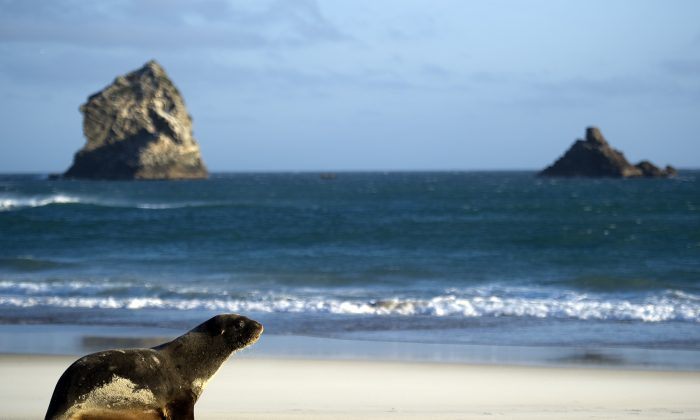 A sea lion is pictured on the beach in Sandfly Bay near Dunedin, New Zealand, on Sept. 21, 2011. (Martin Bureau/AFP/Getty Images)