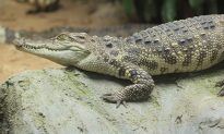 Drug Dealers Used Alligator Dubbed 'El Chompo' to Guard Drugs & Money