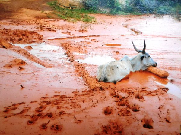 A cow stuck in the mud in Ngoe Ngoe, Cameroon