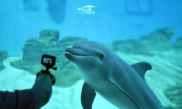Stock photo of a visitor taking a picture of an Indo-pacific bottlenose dolphin at the S.E.A. Aquarium at Resorts World Sentosa in Singapore, on Sept. 3, 2018. (Roslan Rahman/AFP/Getty Images)