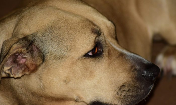 A short-haired dog gazes offscreen. (Sergio Rosi/Pixabay)