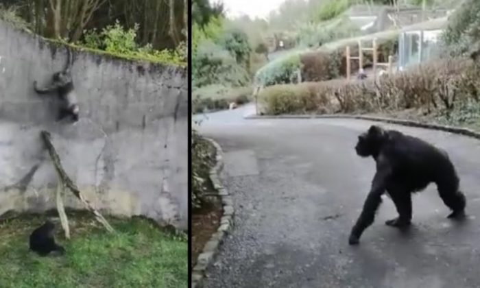 Four chimpanzees escaped their enclosure and roamed freely throughout the zoo in Belfast, Northern Ireland, on Feb. 9, 2019. (Dean McFaul via Storyful)