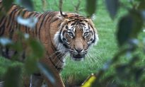 Rare Tiger Killed by Potential Mate During First Day Together
