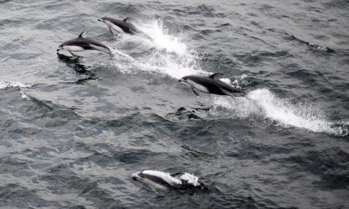 Pacific white side dolphins are seen swimming just outside of the Nanaimo Harbour on Vancouver Island, B.C. Oct. 26, 2013. Scientists observed the dolphins hanging around resident killer whales during summer 2018. (The Canadian Press/Jonathan Hayward)