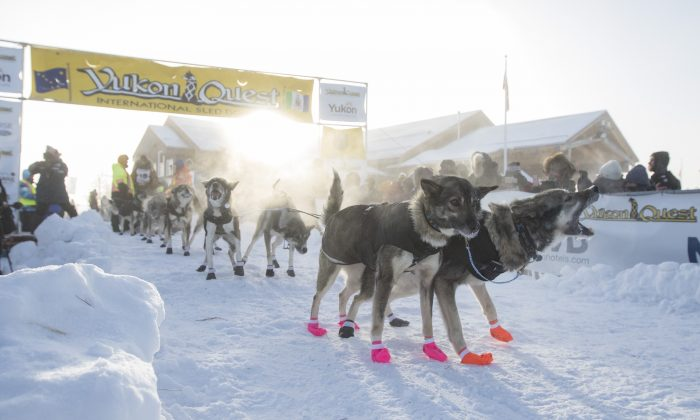 American musher Andrew Pace and his sled dog team get ready at the start line for the Yukon Quest in Whitehorse, Yukon on Feb. 2, 2019. (THE CANADIAN PRESS/Crystal Schick)