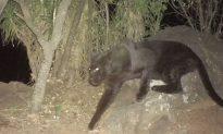 Extremely Rare Black Leopard Captured on Camera in Kenya