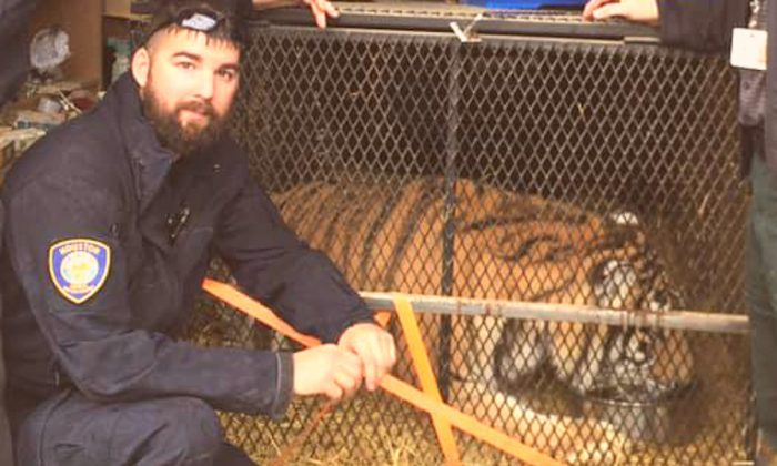 A tiger inside a cage, found on Feb 11, 2019 by animal enforcement officers in Houston. (BARC)