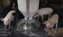 China's Tech Giants Introduce On-Farm Pig Face Recognition Technology