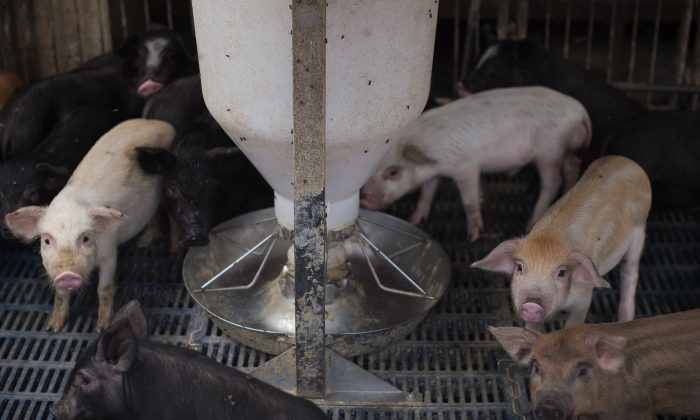 Piglets at a pig farm on the outskirts of Beijing. 