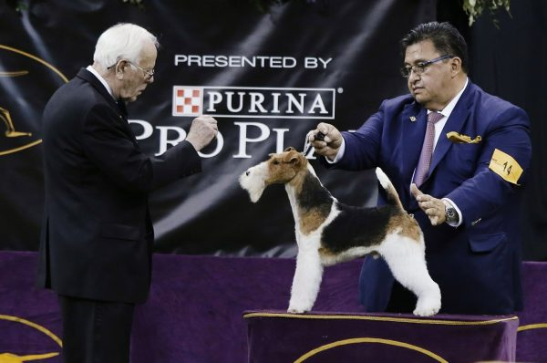 King, a wire fox terrier, competes in the Best in Show at the 143rd Westminster Kennel Club Dog Show
