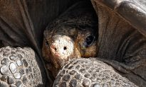Rare Giant Tortoise Species Assumed Extinct for 100 Years Is Rediscovered in the Galapagos