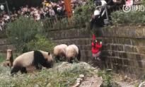 8-Year-Old Girl Falls Into Panda Enclosure in China