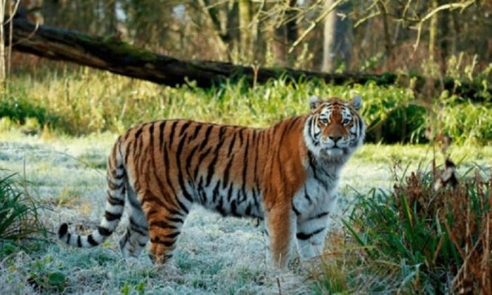Shouri, a female Amur tiger, was killed during a fight with two other tigers at the Longleat safari park in England on Feb. 11, 2019. (Longleat)