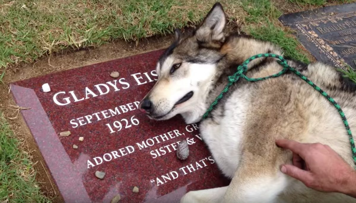 Service wolf-dog can't stop sobbing at the grave of his late owner: 'Forever grateful'