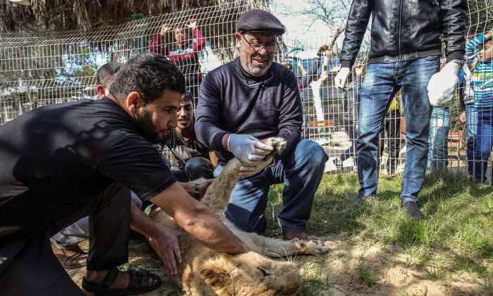 Palestinian veterinarian Fayyaz al-Haddad holds the paw of the lioness Falestine after being declawed at the Rafah Zoo in the southern Gaza Strip on Feb. 12, 2019. (Said Khatib/AFP/Getty Images)