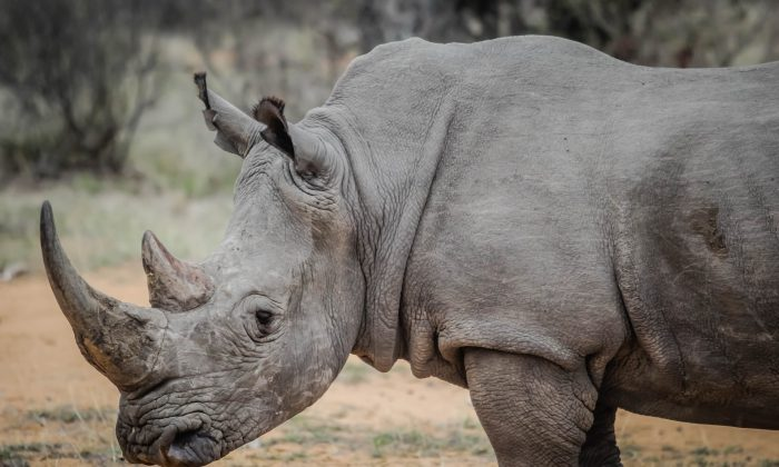 It is estimated that no more than 28,000 rhino are left, their numbers decimated by poachers looking to sell the valuable rhino horn used in Chinese medicine. (pexels/pixabay.com)