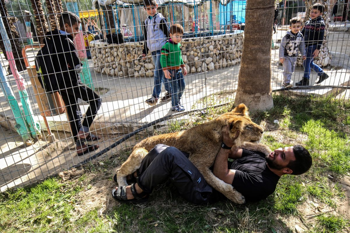 worker plays with lion