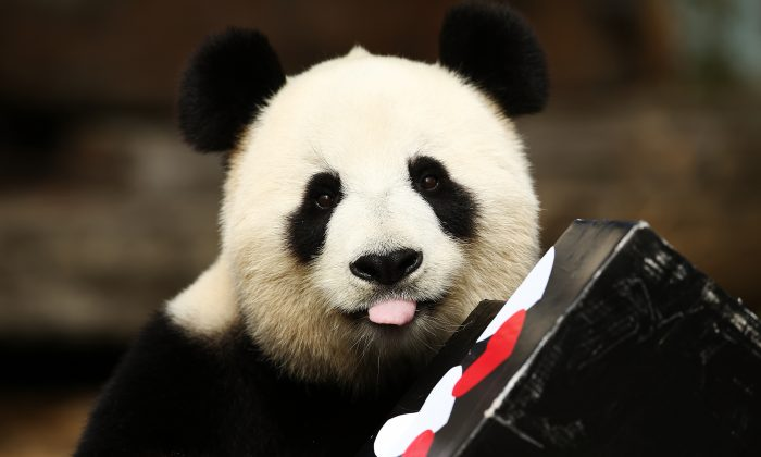 Fu Ni the giant panda is treated to specially prepared panda treats for her birthday at the Adelaide Zoo in Australia on Aug. 23, 2015. (Morne de Klerk/Getty Images)