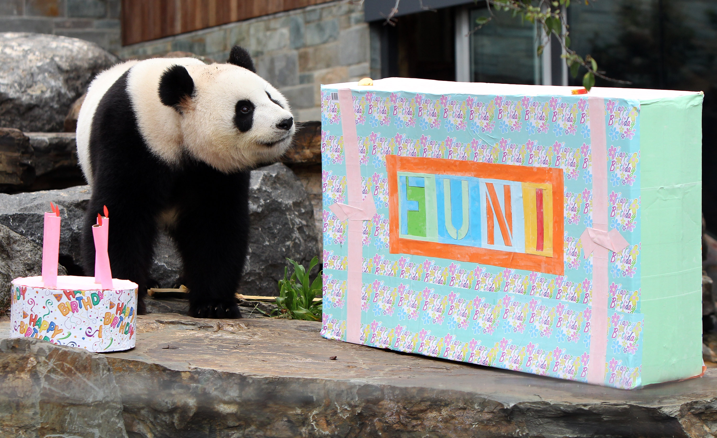 Funi the Panda enjoys inspecting her present and birthday cake