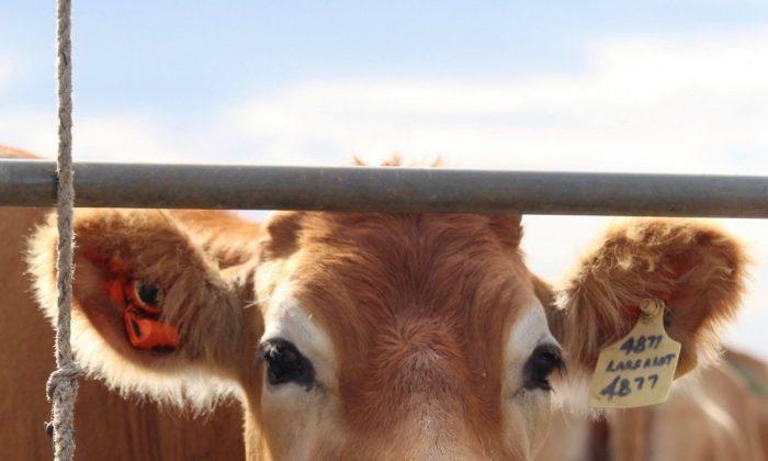 A cow at Caldermeade, Victoria. (Aussie Farms)