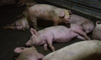 African Swine Fever Continues to Spread in China and Beyond