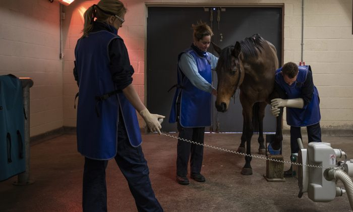 A horse is prepared for X-ray at the Newmarket Equine Hospital in Newmarket, England, on Feb. 11, 2019. After horse racing was suspended for six days due to an outbreak of equine influenza, racing across the UK resumed on Feb. 13, 2019. (Dan Kitwood/Getty Images)