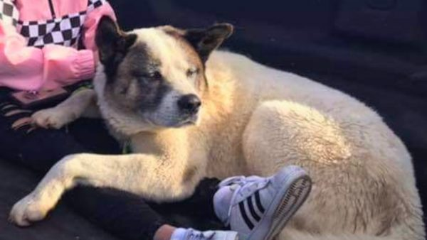Missing california wildfire dog Kingston
