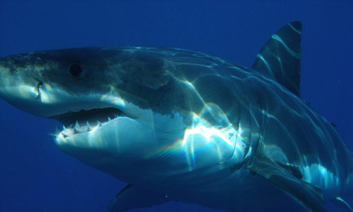 stock photo that shows a cruising shark.(Skeeze/Pixabay)