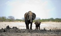 Outcry as Zimbabwe Plans to Export Baby Elephants to China