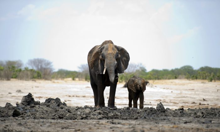 An African elephant and her baby in Hwange National Park in Zimbabwe on Nov. 18, 2012, (Martin Bureau/AFP/Getty Images)