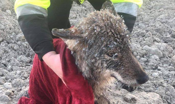 The wolf is warmed up after being rescued from Sindi Dam in Estonia, on Feb. 20, 2019. (EUPA)
