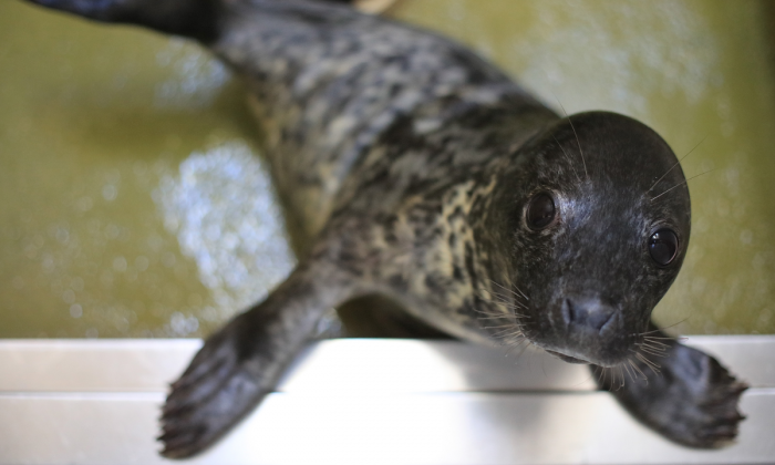 A rescued baby seal (Matt Cardy/Getty Images)