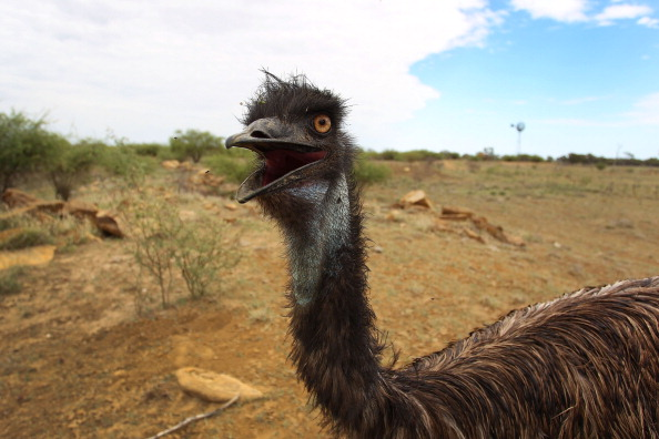 An emu. (Lisa Maree Williams/Getty Images)