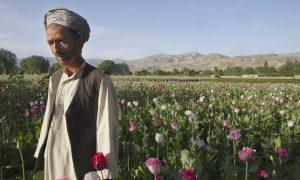 Opium-Addicted Parrots Raid Poppy Crops in India