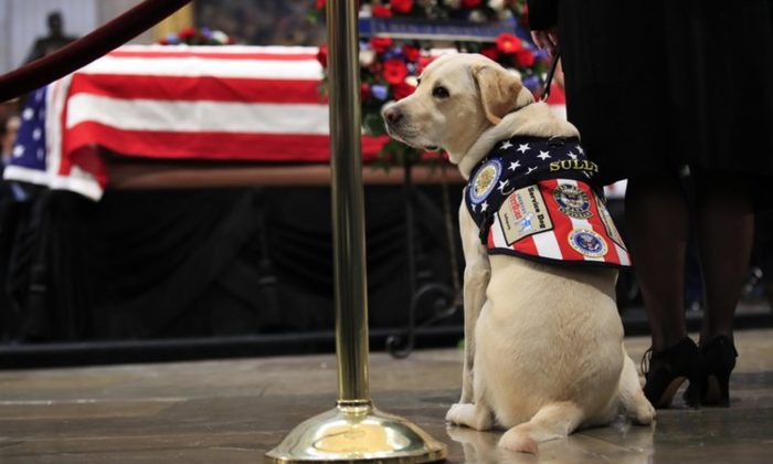 Sully, former President George H.W. Bush's service dog , joined Walter Reed National Military Medical Center's dog program to help wounded veterans on Feb. 27, 2019. (Manuel Balce Ceneta/AP Photo,File)
