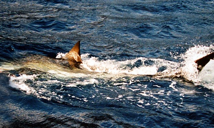 A file image of a great white shark. (Brocken Inaglory/Wikimedia Commons)